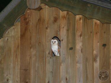 Barn Owl Internal Provision Barn Owl