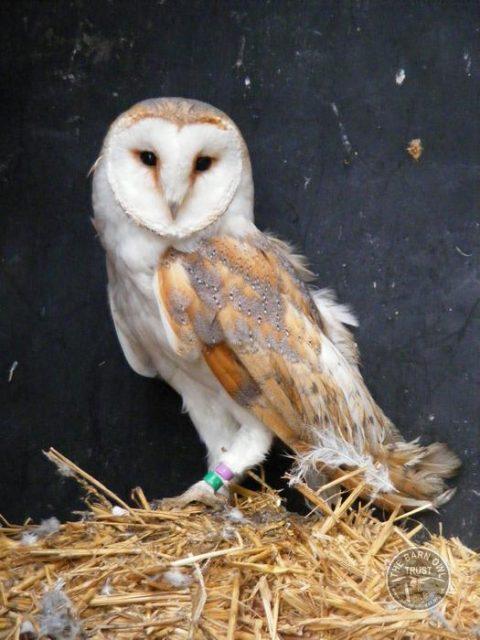 Barn Owl Trust Joanna
