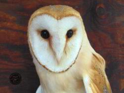Adopt an owl dusky