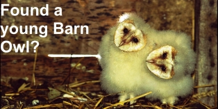 Found a young Barn Owl?