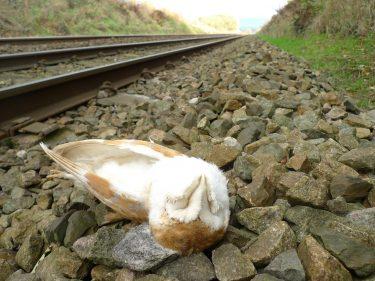 Barn Owl killed by train - Barn Owl Trust