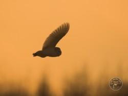 Barn Owls Dawn Dusk simonboothphotography