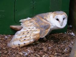 Barn Owl Trust Doreen