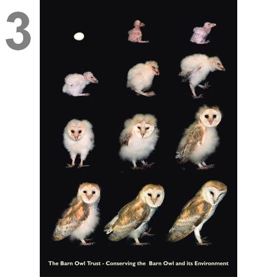 Barn Owl Trust Egg To Owl In 63 Days A5 Card