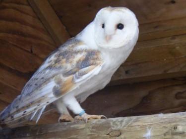 Barn Owl Trust Flinty