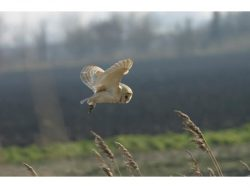 Barn Owl Trust In Search Of Prey A6 Card