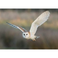 Barn Owl Trust Silent Night Mark Fullerton