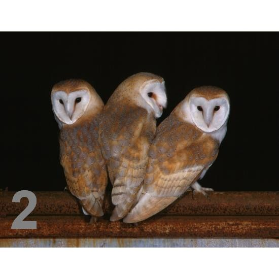 Barn Owl Trust Three Of A Kind A6 Card