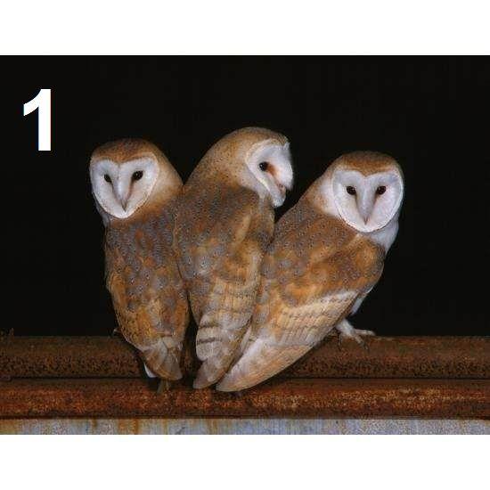 Barn Owl Trust Three Of A Kind Postcard