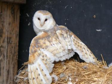 Barn Owl Trust Valentine