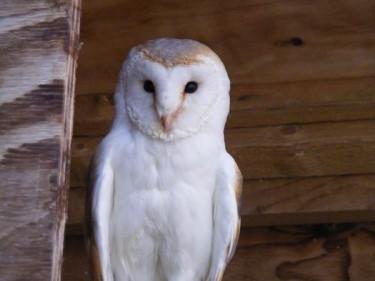 Barn Owl Trust Vinny