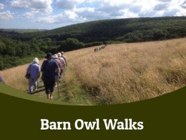 Barn owl walks