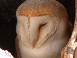 Barn Owl Anatomy Close Up Face