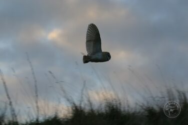 Barn owl at dusk nick sampford