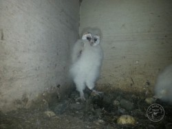 Barn Owl Fledglings 01