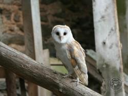 Barn Owl Fledgling tyto alba