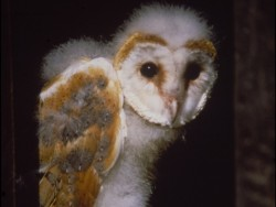 Barn Owl Fledglings