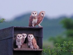 Barn Owl Fledglings Andrew Cook