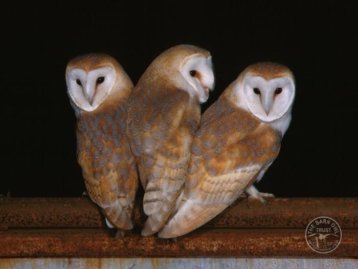 Barn Owl Fledglings Kevin Keatley 04