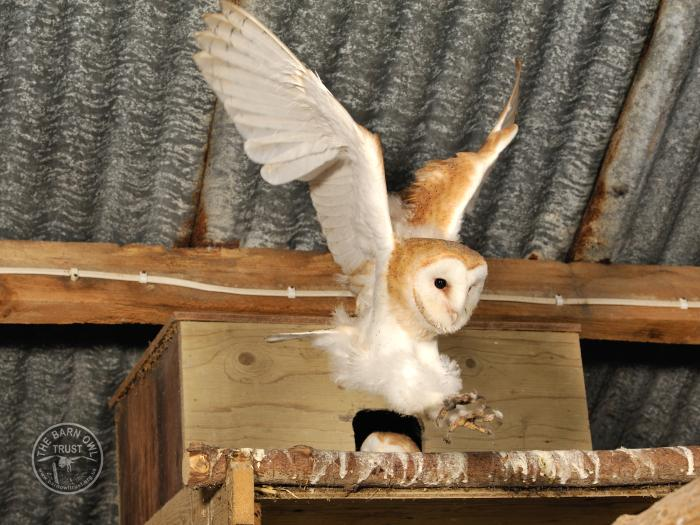 Barn Owl facts - Barn Owl Fledgling