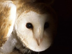 Barn Owl Fledglings Kevin Keatley 07