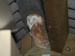Barn Owl Fledglings Milan Ruzic