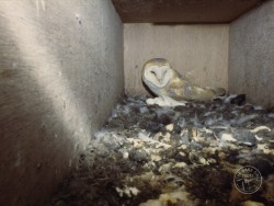 Barn Owl Nest Eggs Adult