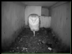 Barn Owl Nestcam Nestkast Live