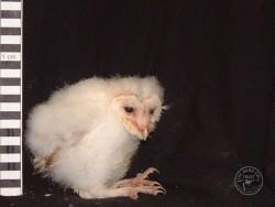 Barn Owl Owlet Growth 28 Days