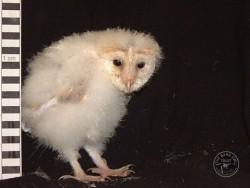 Barn Owl Owlet Growth 35 Days