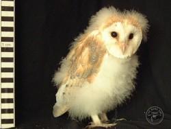 Barn Owl Owlet Growth 49 Days
