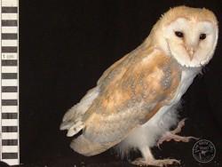 Barn Owl Owlet Growth 56 Days