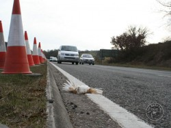 Barn Owl Road Kill Dead