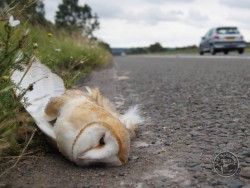 Barn Owl Road Kill Dead Sandy Osborough