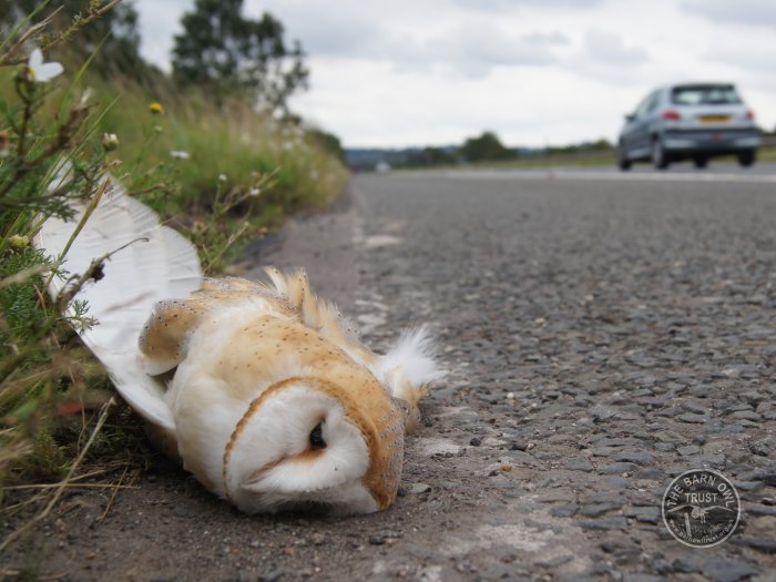 Dead Barn Owl Road Kill [Sandy Osborough]