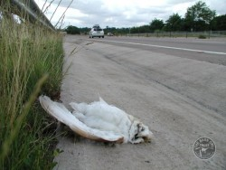 Barn Owl Road Kill Dead Dual Carriageway