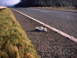 Barn Owl Road Kill Dead Hard Shoulder