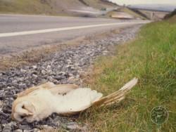 Barn Owl Road Kill Dead Road Verge