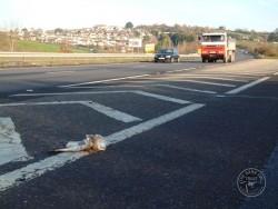 Barn Owl Road Kill Dead Slip Road