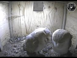Barn Owl Webcam Nestcam Screenshot 14th November 2016
