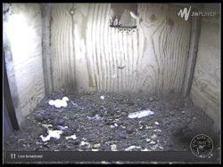 Barn Owl Webcam Nestcam Screenshot 22nd April 2016
