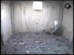 Barn Owl Webcam Nestcam Screenshot 23rd August 2016