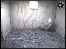 Barn Owl Webcam Nestcam Screenshot 23rd August 2016