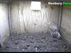Barn Owl Webcam Nestcam Screenshot 26th July 2016