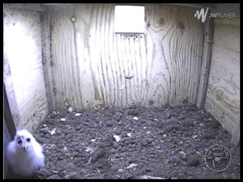 Barn Owl Webcam Nestcam Screenshot 29th June