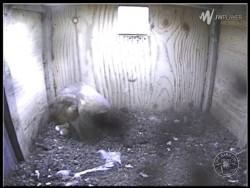 Barn Owl Webcam Nestcam Screenshot 7th May 2015