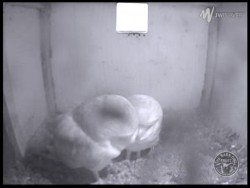 Barn Owl Webcam Nestcam Screenshot 1st May 2015