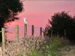 Barn Owls Dawn Dusk Kevin Keatley