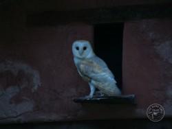 Barn Owls Dawn Dusk Melanie Lindenthal