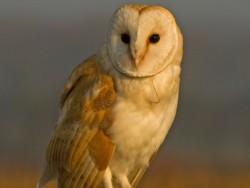 Barn Owls Dawn Dusk Russell Savory 03